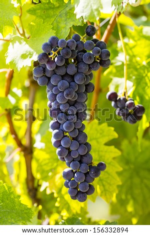 bunches of ripe grapes on the plantation