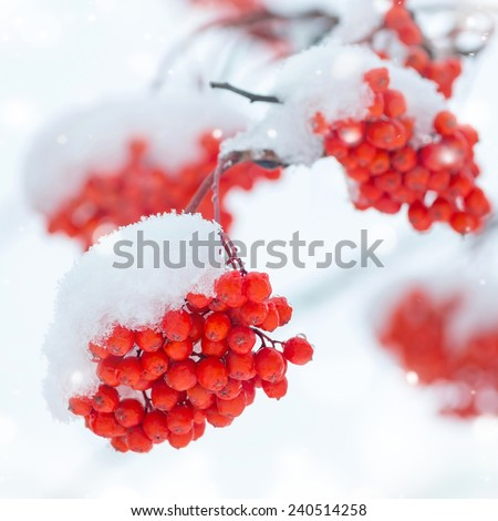 Bunches of rowan in the snow - stock photo