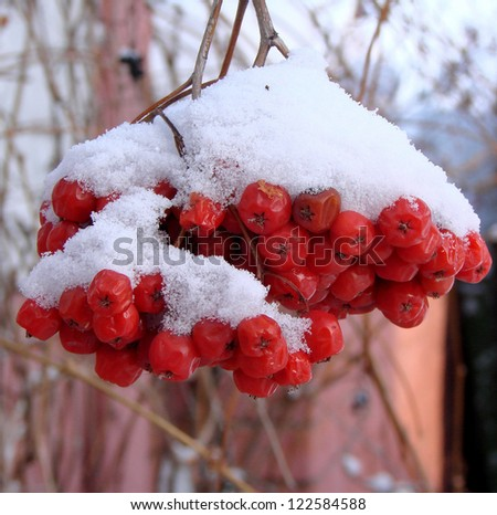 Bunches of rowan sheltered snow. Omsk region, Siberia, Russia - stock photo