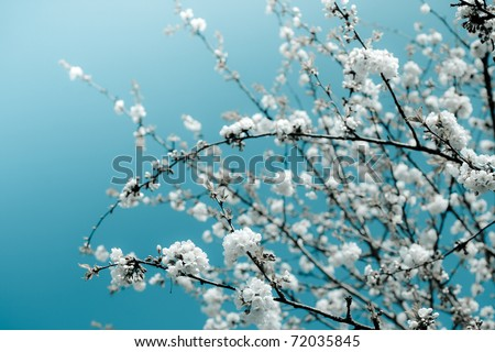 Bunches of white cherry blossoms. - stock photo