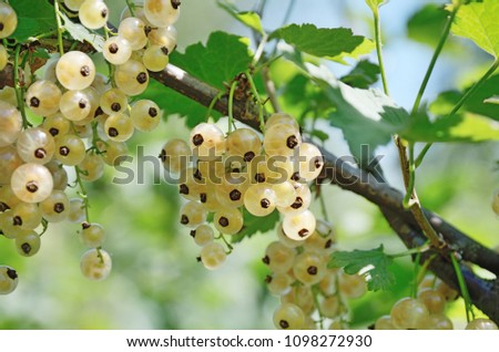 Bunches of white Currant at branch with green leaves outdoors. Small round light yellow berries. Bunches and green leaves on a thin brown twig closeup. Ribes niveum.