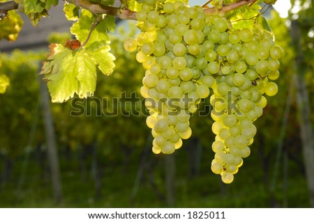 Bunches of white grapes ripening on a vine in Switzerland. Taken contre-jour. More vines and part of the vineyard owner's house can be seen, out of focus, in the background. - stock photo