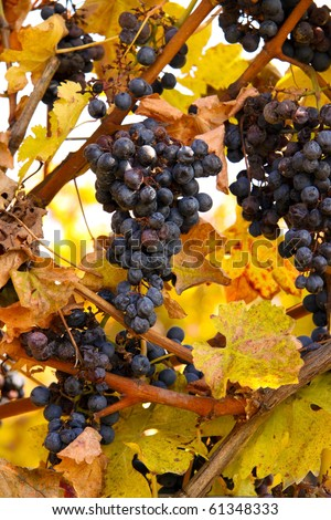 Bunches of wine grapes ready for harvesting in the Niagara region of Ontario, Canada.