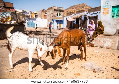 Bundi, Rajasthan. India. March 9, 2012. Fighting goats in the street. Street scene. Rajasthan, India
