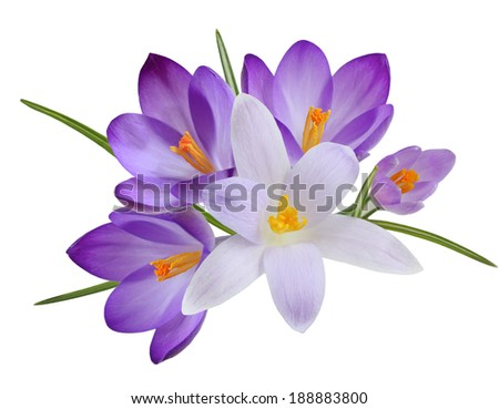 Bundle of fresh crocus flower heads isolated on white background - stock photo