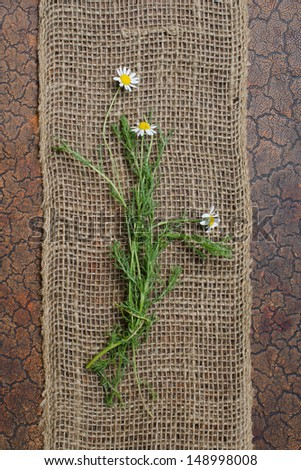 Bundle of fresh green flowering Chamomile stems on brown burlap and wood background