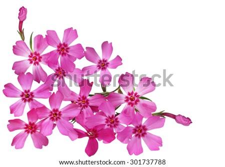 Bundle of Moss Phlox Flower isolated on white background - stock photo