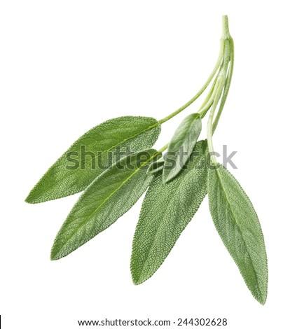 bundle of sage leaves - stock photo