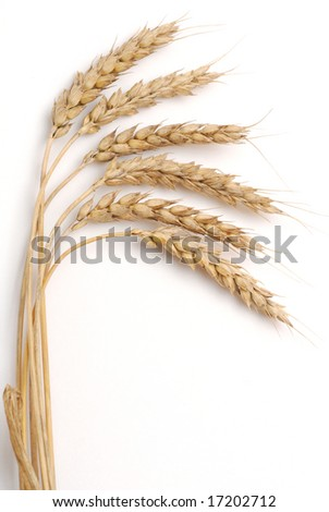 Bundle of wheat studio isolated on white background