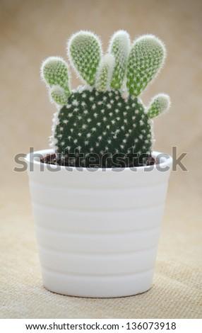 Bunny ears cactus (Opuntia microdasys) in a pot. - stock photo