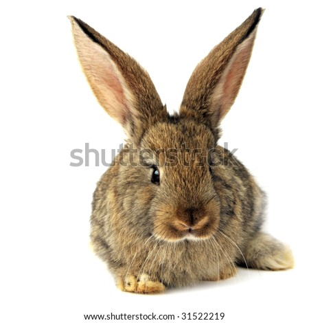 Bunny Isolated - stock photo
