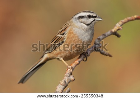Bunting ( Emberiza cia ) in autumn perched on a branch