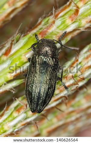 Buprestis rustica on pine, macro photo - stock photo