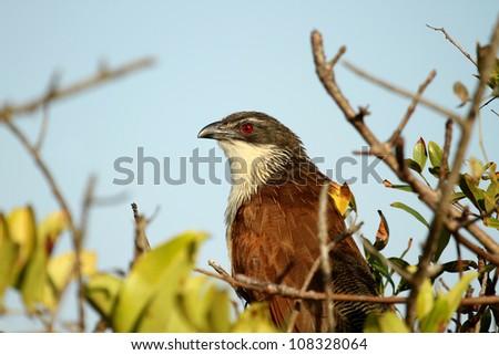 Burchell's Coucal bird sitting in tree - stock photo
