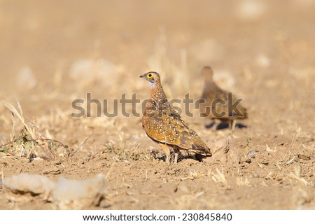 Burchell's Sandgrouse (pterocles burchelli) standing in desert, another blurred individual behind, Kalahari desert, South Africa
