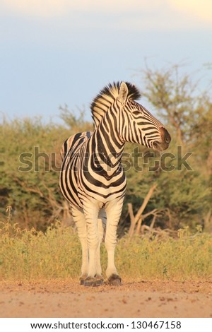 Burchell's Zebra as seen on a game ranch in Namibia - A Stallion looks for predators and rival males.  The sun sets quietly over Africa. - stock photo