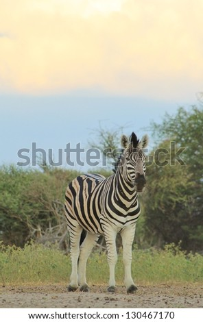 Burchell's Zebra as seen on a game ranch in Namibia - A Stallion with an amazing sky in the background, split into three sections of light and color.  Africa is but simply amazing. - stock photo