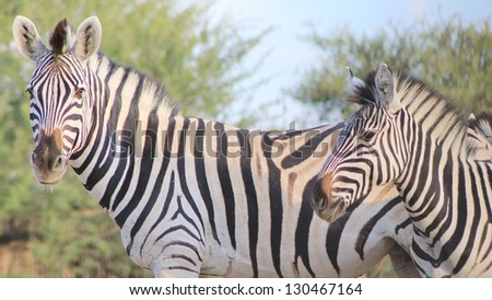 Burchell's Zebra as seen on a game ranch in Namibia - Two mares showing off their stripes and manes. - stock photo