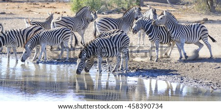 Burchell's Zebra (Equus burchelli) contest for dominance at a waterhole in the bushveld, South Africa.  - stock photo