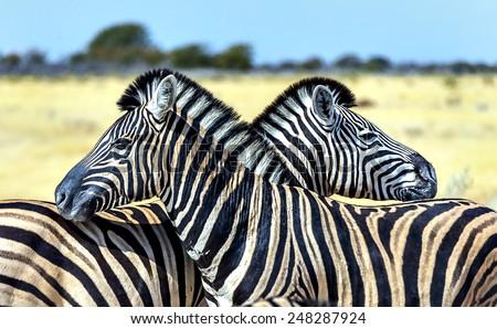 Burchell's zebra (Equus burchelli) in Etosha National Park - Namibia, South-West Africa - stock photo
