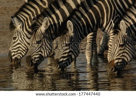 Burchell's zebra (Equus burchelli) large herbivore living in open plains. Linyanti and Savuti areas. BOTSWANA. Southern Africa. - stock photo