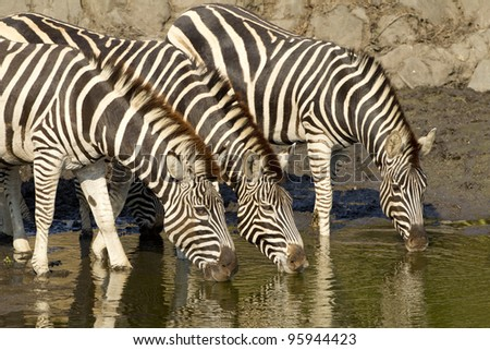 Burchell's Zebra (Equus burchellii) drinking water from a natural pan in South Africa - stock photo
