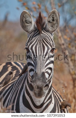 Burchell's zebra in South Africa staring at camera