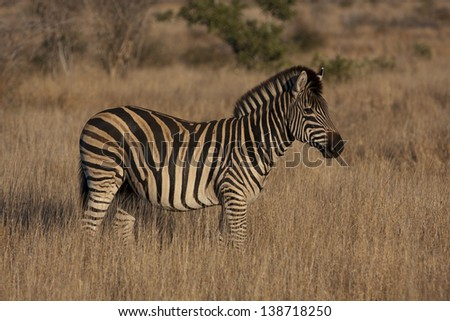 Burchell's Zebra in the Kruger National Park in South Africa