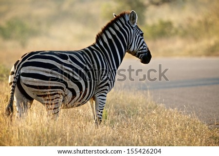 Burchell's Zebra (Kwagga) near Phabeni Gate in the Kruger National Park, South Africa - stock photo