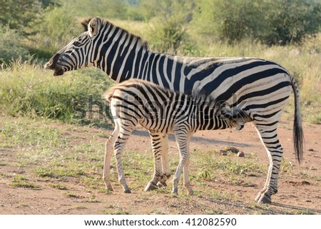 Burchellâ??s zebra mare with suckling foal