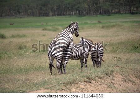 Burchell's Zebra mating in the Masai Mara - stock photo