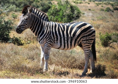 Burchell's Zebra poses for the camera at the Addo Park in South Africa.