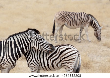Burchell's zebra with foal, Equus quagga burchellii. Etosha national Park, Ombika, Kunene, Namibia. True wildlife photography - stock photo