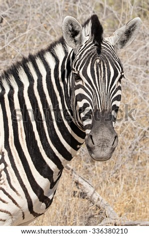 Burchell zebra in its natural environment in Etosha National Park, Namibia