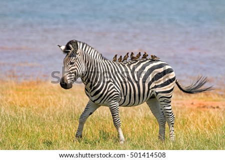 Burchell Zebra on the lush plains in Bumi National park with several oxpeckers on his back against a natural lake background