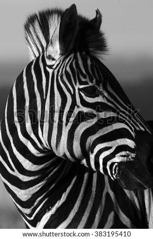 Burchells zebra portrait, monochrome / black and white conversion. Taken in Addo Elephant national park, eastern cape,south africa - stock photo