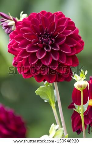 Burgundy dahlia flower. - stock photo