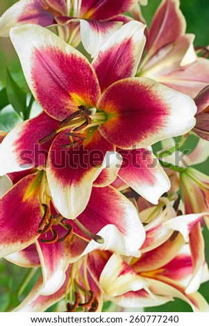 burgundy lilies flowers in a garden - stock photo