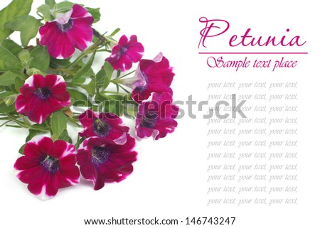 Burgundy petunia flower isolated on white background