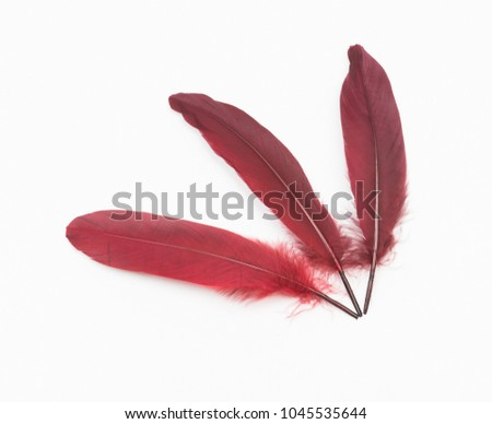 Burgundy red feathers on a white background