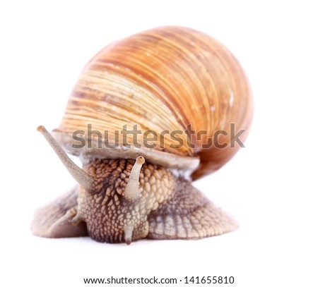 Burgundy snail (Helix  Pomatia) isolated over white. Close up - stock photo
