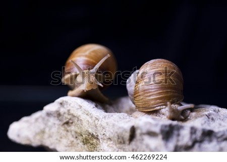 Burgundy snail, Helix pomatia on a limestone isolated over black background