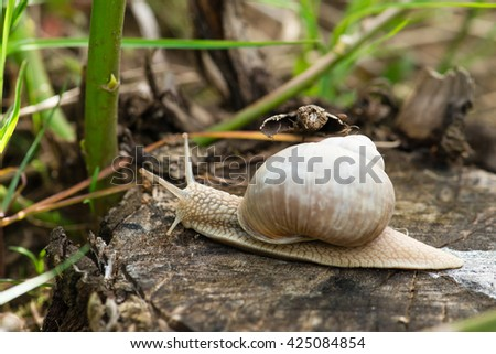 Burgundy snail (Helix, Roman snail, edible snail, escargot) crawling on its road. Shot with shallow depth of field. - stock photo