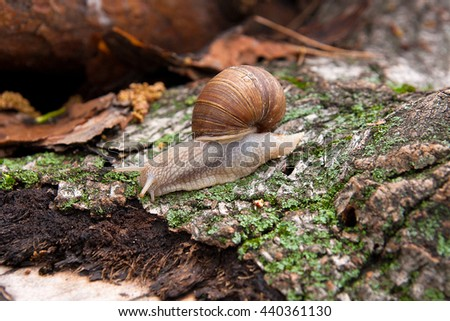 Burgundy snail (Roman snail, edible snail, escargot) crawling on its road. Close up view of brown tree bark with moss and fungus. Big snail on the trunk of old tree. - stock photo