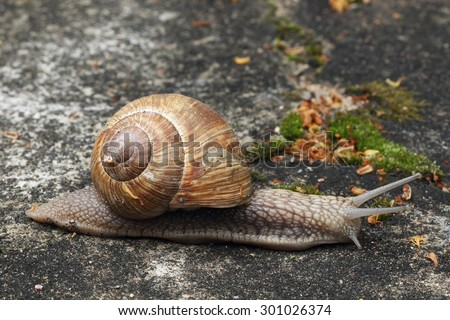 Burgundy snail (Roman snail, edible snail, escargot) (Helix pomatia) on the road.