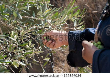 BURIN, PALESTINIAN TERRITORIES - OCTOBER 9: A Palestinian picks olives on family land in the West Bank village of Burin, Oct, 9, 2012. Burin has been a frequent target of attacks by Israeli settlers. - stock photo