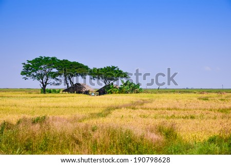 Burma Myanmar rice field in upcountry - stock photo