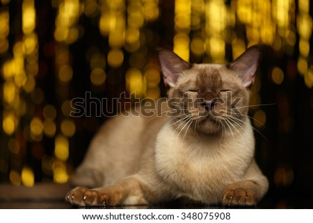 Burmese Cat Lies with closed eyes on golden happy new year background - stock photo