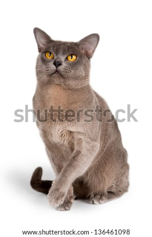 Burmese cat on white background - stock photo