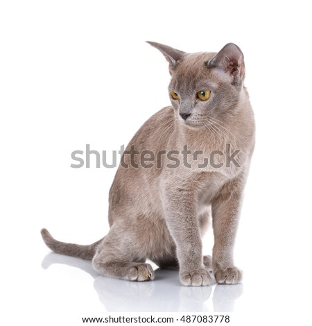 Burmese cat sits on a white background